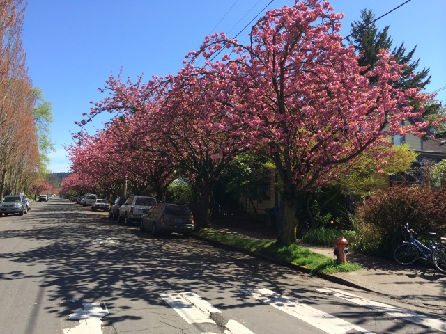 Trees with pink blossoms